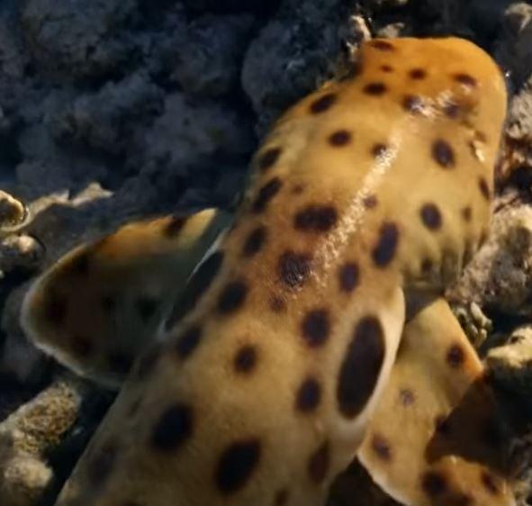aquarium epaulette shark