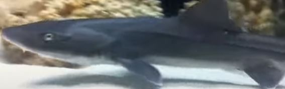 hound shark for saltwater tank