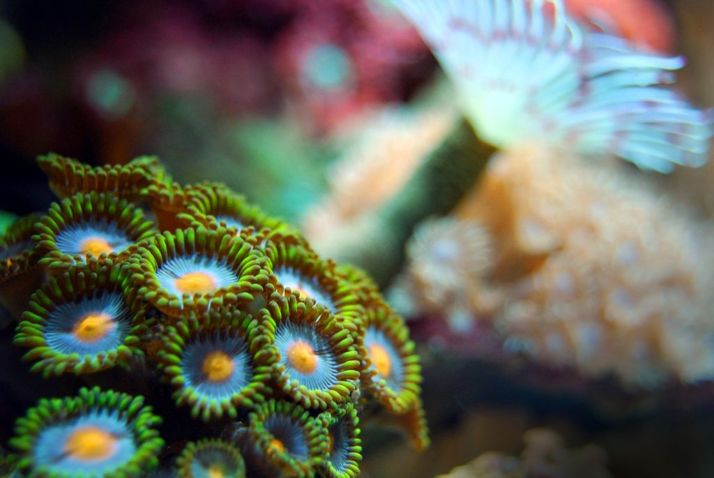 zoanthid coral care