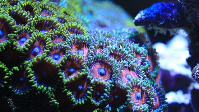 zoa coral care