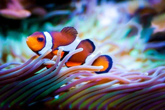 clownfish eating
