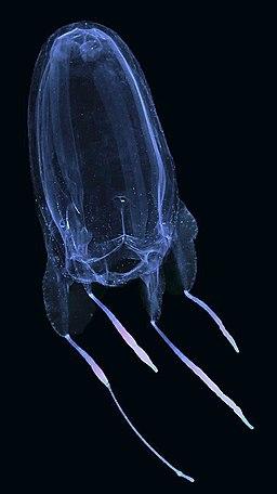Alatina alata venomous jellyfish