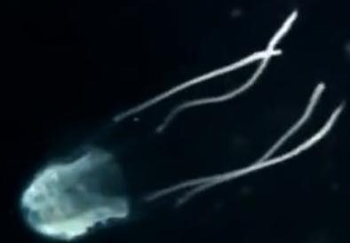 Carukia barnesi venomous jellyfish