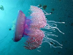 crown jellyfish