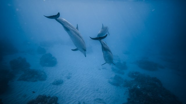 dolphins diving in the ocean