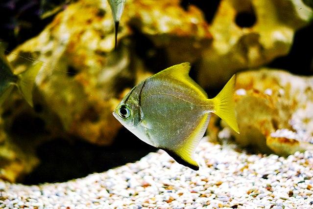 fingerfish in school