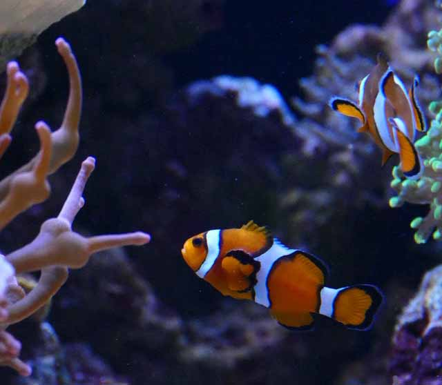 clown fish in 30 gallon tank