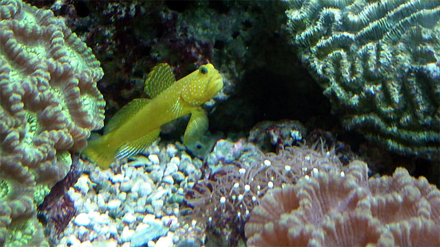 yellow watchman goby fish