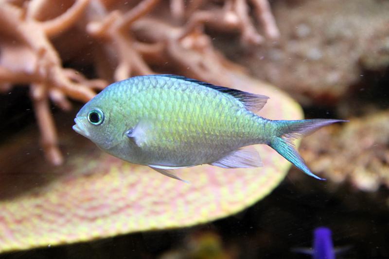 Chromis marine fish