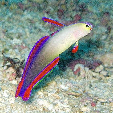 Firefish in reef safe aquarium