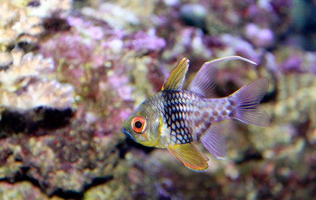 reef safe Pajama Cardinalfish